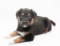 Small black puppy with brown spots looks kindly on white background Royalty Free Stock Photo