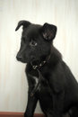 Small black puppy pooch cute Stock Images