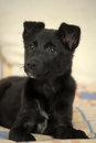 Small black puppy pooch cute Stock Photo