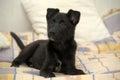 Small black puppy pooch cute Royalty Free Stock Photos