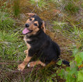 Small black puppy with yellow markings sitting in grass his tongue out Stock Images