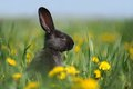 Small Black Rabbit Royalty Free Stock Image