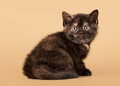 Small black tortoise british kitten Stock Photography