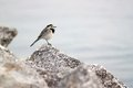 Small black and white bird on stone Royalty Free Stock Photography
