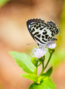 Small black and white common pierrot butterfly sucking food from flower Stock Images