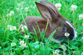 Small black-and-white rabbit sitting on the grass. Royalty Free Stock Photo