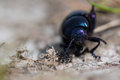 Small Bloody-nosed Beetle (Tim...