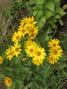 Summer yellow perennial daisy Royalty Free Stock Photo