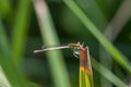 Small blue dragonfly on the blades of grass Royalty Free Stock Photo