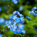 Small blue flowers background in morning garden Stock Images