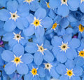Small blue forget-me-not flowers background Royalty Free Stock Photo