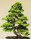 Small bonsai tree in lights and shadows Royalty Free Stock Photo