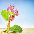Small bouquet of bergenia flowers in a glass against blue the Stock Photo