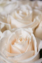A small bouquet of light pink roses soft focus Stock Photos