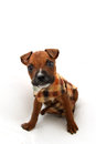 Small boxer dog puppy wearing a jersey isolated on white background Royalty Free Stock Photos