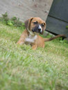 Small Boxer Puppy laying in the grass.
