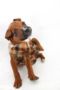 Small boxer puppy scratching an itch on a white background Royalty Free Stock Photos