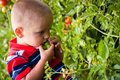 Small boy picking tomatoes Stock Photo