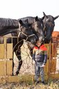 A small boy stands near black horses. Outdoors. Royalty Free Stock Photo