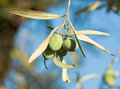 Small branch olive's fruits Royalty Free Stock Photography