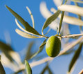 Small branch one olive's fruit Royalty Free Stock Photography