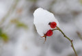 Small branch of rose-canina with two berries bending under a snow cap Royalty Free Stock Photo