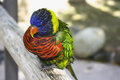 Small bright bird rainbow parrot lorikeet Stock Photo