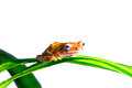 Small brow frog stay on green leaf and white background Royalty Free Stock Image