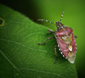 Small Brown Beetle Macro On Le...