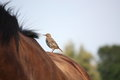 Small brown bird resting on horse back Royalty Free Stock Photo