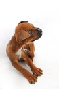 Small brown boxer dog with flea irritation isolated on white background Royalty Free Stock Photos