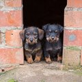 Small brown dachshunds closeup of baby dachshund dogs at home Stock Image