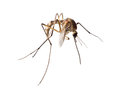 Small brown mosquito isolated on white Royalty Free Stock Photo
