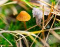 Small brown poisonous mushroom toadstool, closeup Royalty Free Stock Photo