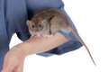 Small brown rat Stock Photo