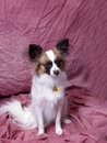 Small Brown And White Dog Royalty Free Stock Photo