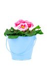 Small bucket of primrose flowers on white background Royalty Free Stock Photo