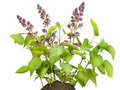 Small bush of the Lilac with buds on a bed Stock Photos