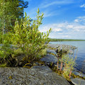 Small bush on the stony shore of Lake Ladoga Stock Photo
