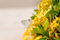 Small butterly on yellow flowers Royalty Free Stock Image