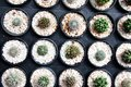 Small cactus in the black pots, Little Desert plants Royalty Free Stock Photo