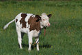 Small calf cow cows on green grass Stock Photos