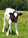 The small calf on a meadow