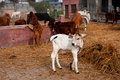Small calf and other animals in a rustic barn the indian village Royalty Free Stock Images