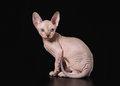 Small canadian sphynx on black background Stock Photos