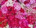 Small carnation flowers closeup Royalty Free Stock Photo