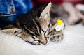 Small cat under anesthetic effects sleeping waking up from Royalty Free Stock Photography