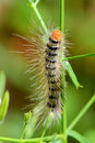 Small caterpillar on andrographis paniculata branch Royalty Free Stock Photography