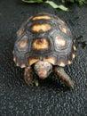 A small cherry head tortoise Royalty Free Stock Photo