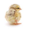 Small chicken one on a white background Royalty Free Stock Image